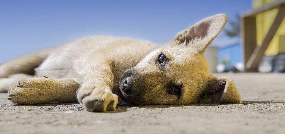 remedios caseros contra garrapatas para perro