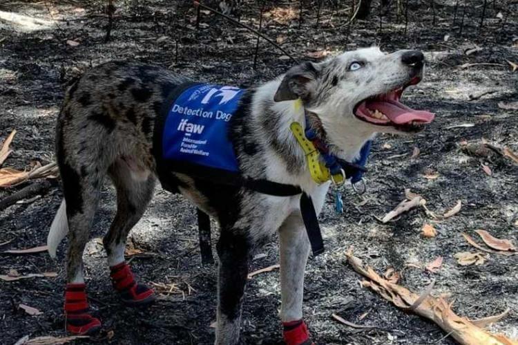 Oso perro que salva koalas en australia