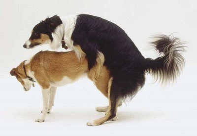 reproducción de perros
