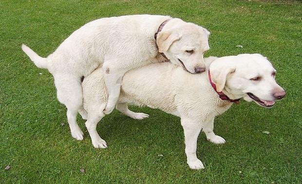 perros apareandose