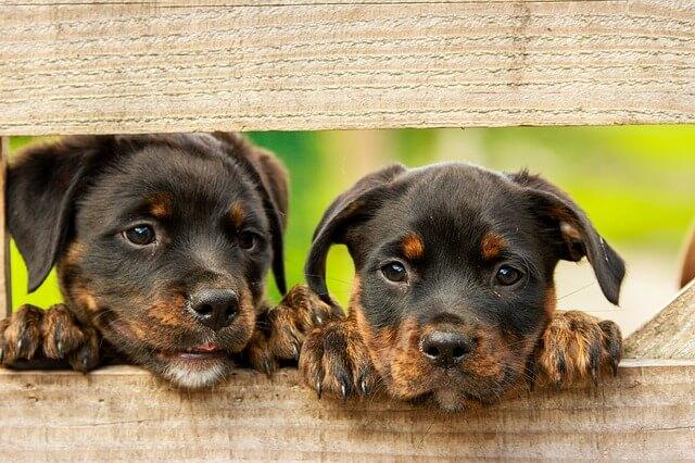 mundo mascotas cachorros de rottweiler