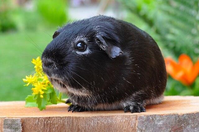 roedores : conejillo de la india