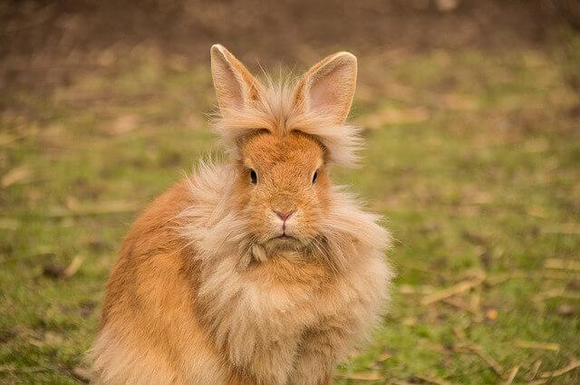 conejo león