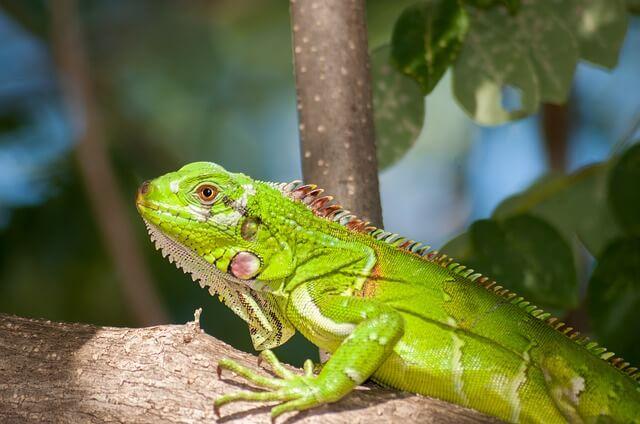 reptiles como mascotas: iguana