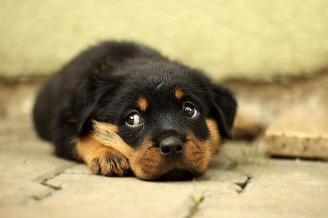 por que los perros dan vueltas antes de acostarse