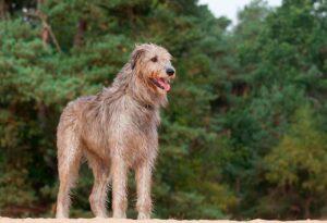 las 5 raza de perros mas grandes del mundo