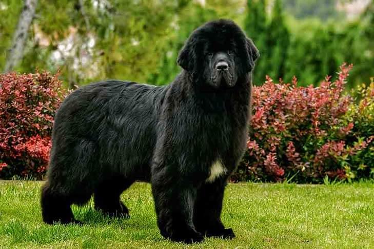5 raza de perros mas grandes